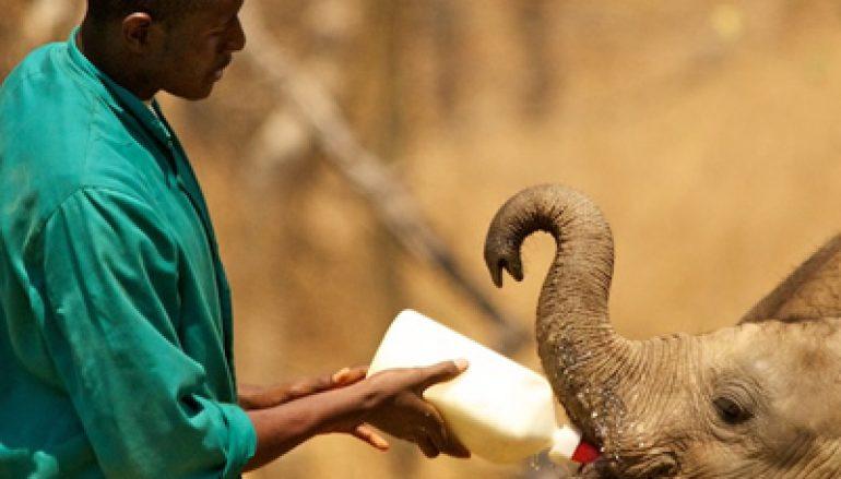 Olifanten redden in Zambia